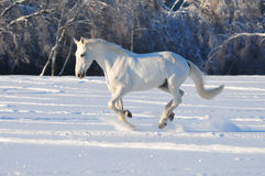 White horse in winter field Stock Photos