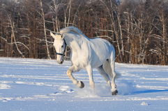White horse in winter field Royalty Free Stock Photos