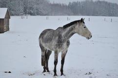 White horse on winter pasture. South Bohemia, Czech Republic Stock Photo