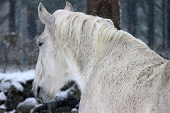White Horse in Winter Stock Photography