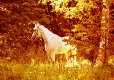 White horse on  wood glade Royalty Free Stock Photography
