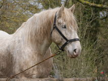 White Horse. Working horses in the countryside, equine field mare,  pasture,  ride, working horse,  steed, white Stock Image