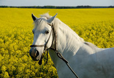 White horse and yellow field Stock Photography