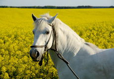 White horse on yellow field Stock Images