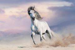 White horser un gallop. In desert dust against beautiful sky royalty free stock photo