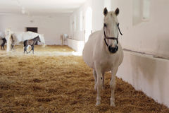 White horses. Gravid white mare in stable Royalty Free Stock Images