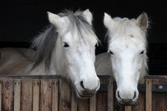 White horses. Two white horses looking over the stable door Stock Photography