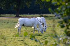 White Horses Royalty Free Stock Images