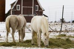 White horses Royalty Free Stock Photo