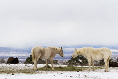 White horses Royalty Free Stock Image