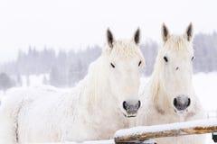 White horses Royalty Free Stock Photos