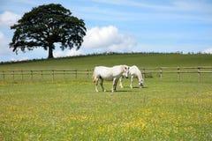 White Horses Stock Image
