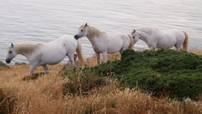 White Horses on Anglesey, Wales. Three wild white Welsh ponies on the Isle of Anglesey, UK, in front of the Irish Sea Stock Images