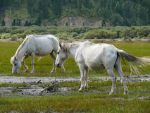 White horses at billabong of Kali Gandaki river, Nepal Royalty Free Stock Photography