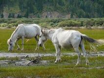 White horses at billabong of Kali Gandaki river, Nepal Royalty Free Stock Photography