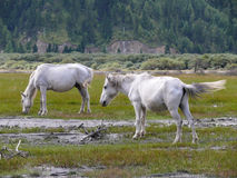 White horses at billabong of Kali Gandaki river, Nepal Stock Photos