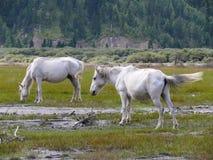 White horses at billabong of Kali Gandaki river, Nepal Stock Photos