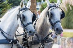 White horses with bridle Stock Photo