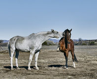 White Horses Biting Brown Horse Stock Images