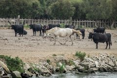 White horses and bullfighting black bulls. Camargue Park on delta Rhone River. France royalty free stock photography