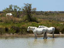White horses of the camargue Royalty Free Stock Photography
