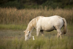 White horses of Camargue. Provence, France royalty free stock image