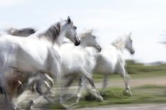 White horses of Camargue Stock Photos