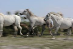 White horses of Camargue Stock Image