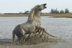 White horses of Camargue France Royalty Free Stock Photo