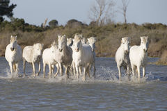 White horses of Camargue France Royalty Free Stock Images
