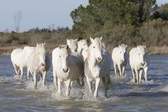 White horses of Camargue France Stock Image