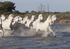 White horses of Camargue France Royalty Free Stock Photo