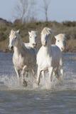 White horses of Camargue France Royalty Free Stock Image