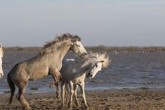 White horses of Camargue France Stock Photo