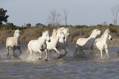White horses of Camargue France Stock Photos