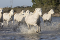 White horses of Camargue France Stock Images