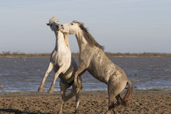 White horses of Camargue France Royalty Free Stock Photography
