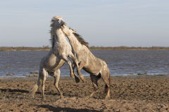 White horses of Camargue France Stock Image