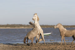 White horses of Camargue France Royalty Free Stock Photos