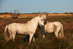 White horses of Camargue. Horizontally in the countryside Royalty Free Stock Photo