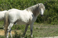 White horses in Camargue (Provence) Royalty Free Stock Photography