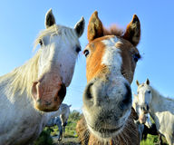 White horses of Camarque Stock Photography