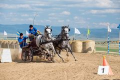 White horses and carriage on starting line at horse track. Horse contest with carriage on sunny daynThis is a regional contest in Covasna County, starting line Stock Images