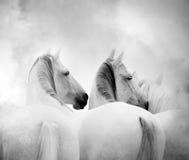 White horses. Close up monochrome Royalty Free Stock Photo