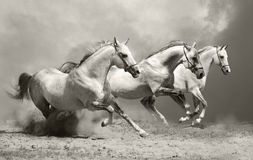 White horses in dust Stock Images