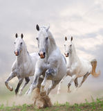 White horses in dust. White stallions in dust over a white Royalty Free Stock Photo