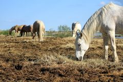 White horses eating, Camargue, France Royalty Free Stock Photo