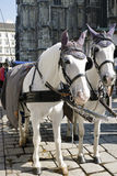 The white horses with fiaker in Vienna Royalty Free Stock Photo