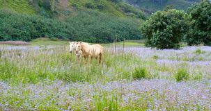 White Horses in Field of Blue Flowers. Two white horses standing in a field of colorful blue flowers against a lush mountain backdrop on Kauai Royalty Free Stock Photo