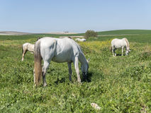 White horses in field Royalty Free Stock Photo